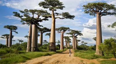 Πεθαίνουν μυστηριωδώς τα αρχαιότερα δέντρα της Αφρικής